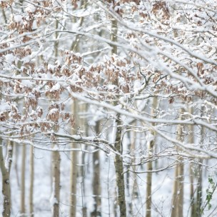 English Woodland Snow